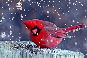 stoic cardinal in the snow